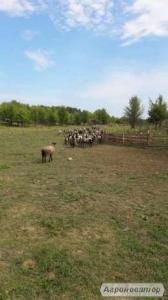 Стадо романівських овець