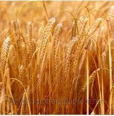Насіння озимої пшениці Подолянка Е