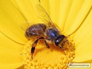 Бджолинні матки Украинской степовоі породы 2020г .