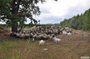 Вівці, барани, ягнята, м'ясо.