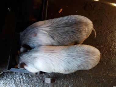 Продам вьетнамские свинки