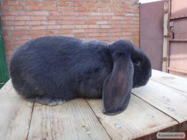 Кролики кролі породи французький баран