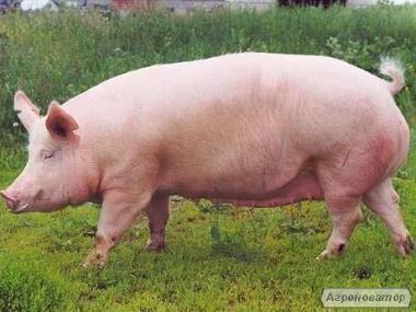 Продажа Свиньи товарные