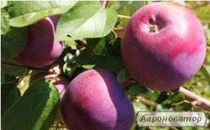 продам летнее яблоко Вильямс