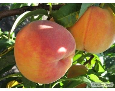 Саджанці персика сорти Вайн Голд Т3 від виробника