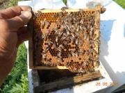 Плідні бджоломатки.