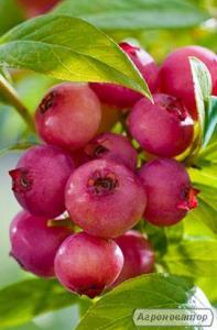 ПІНК ЛИМОНАД (Pink Lemonade) лохина