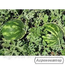 Продам арбуз оптом с поля,сорт Кримсон Свит,от 4-12 кг