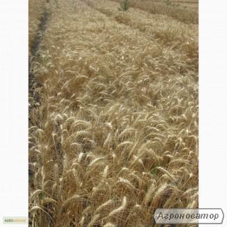 Семена пшеницы озимой - сорт Одесская 267. Элита и 1 репродукция