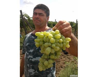 Саджанці винограду сорт Лора