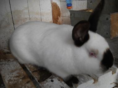 Кролики, кролики. Продам кроликов калифорнийцев чистая порода.