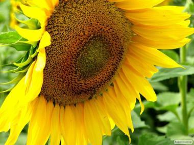 Насіння соняшнику під гранстар