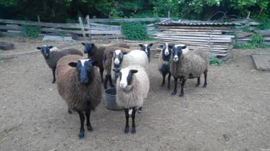 Продам овець романівської породи