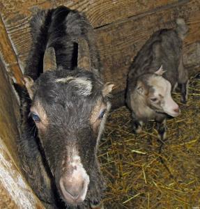 goat козенята козлики ламанча кіз