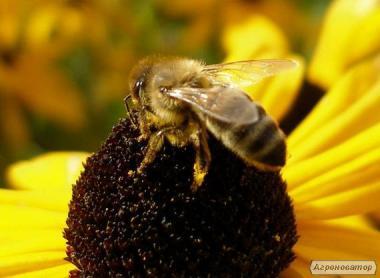Бджолосі'ї. Бджолопакети
