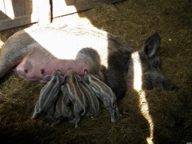 Поросята свині свинки породи Мангал і Венгерська Мангалиця