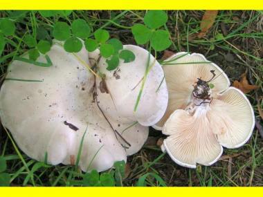 Міцелій Подвишенника / Подвишень (Clitopilus prunulus)