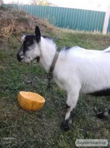 Продам дойные козы
