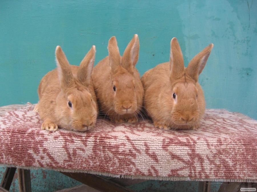 Кролики породи Бургундія.