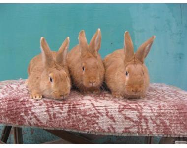 Кролики породы Бургундия.