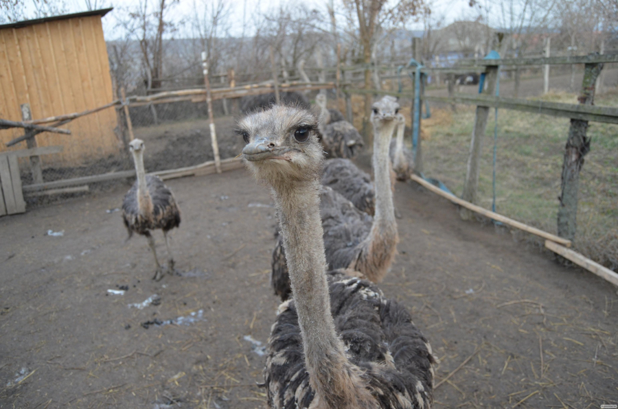 продаю подрощеных страусят