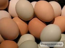 Яйце Інкубаційне