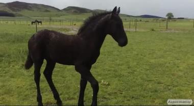 Верховые лошади породы Фризская