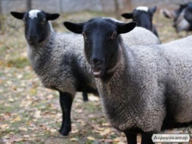 Куплю овець дорого