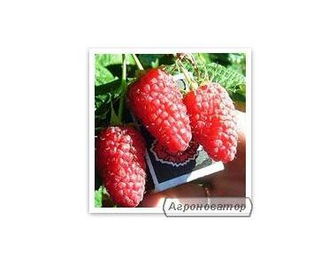 Саженцы малины более 15 сортов по цене производителя от 4 грн