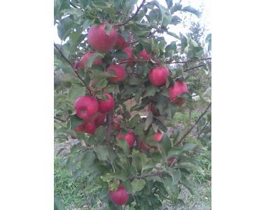 Саджанці яблуни сорт Чемпіон