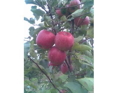 Саджанцы яблуни сорт Чемпион