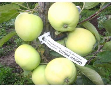 Яблуні імунні та червоном'якотні