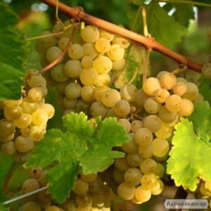 Мускат біле напівсухе вино МУСКАТ