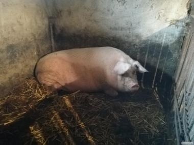 Продам Свиньи