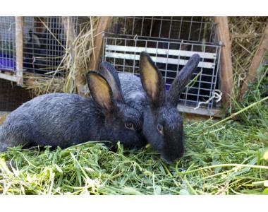 Продам кроликов полтавское серебро