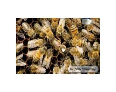 продам пчелопакеты, семьи