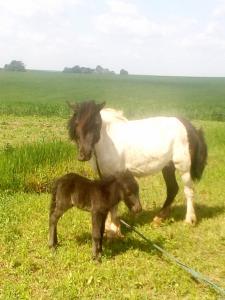 Жеребёнок пони от вороно-пегой кобылки Жеребчик Пони из Швеции