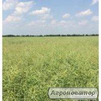 Семена рапса, устойчивого к раундапа – Клеопатра