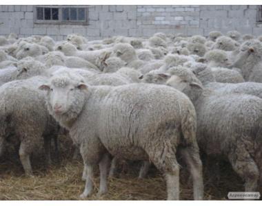 Продажа овцематок, ярочек породи Прекос, Меринос