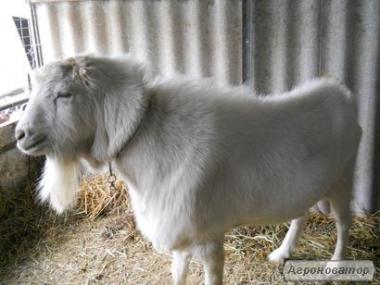 продам козла ламанча