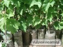 Продам саженцы элитных сортов винограда
