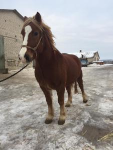 продам коні ваговози