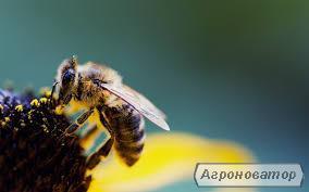 бджоломатки з бджолоросплідника на 2017 рік