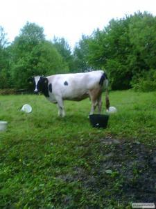 Продається корова!!!!!