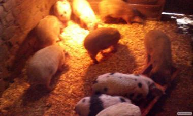 Продам поросят, 3 мес, Киевская область
