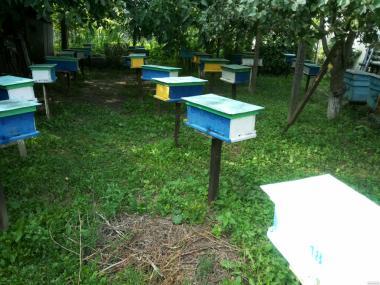 Продам молоді плідні бджолині матки Карпатської породи.