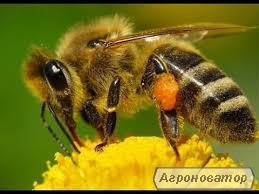 Бджолинні матки Украiнськоi степовоі породы 2020 г