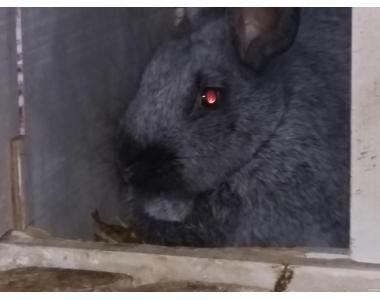 кролик породи полтавське срібло