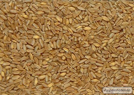 Насіння твердої пшениці озимої - сорт Таврида . Еліта та 1 репродукція