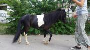 Пони вороно-пегий жеребец